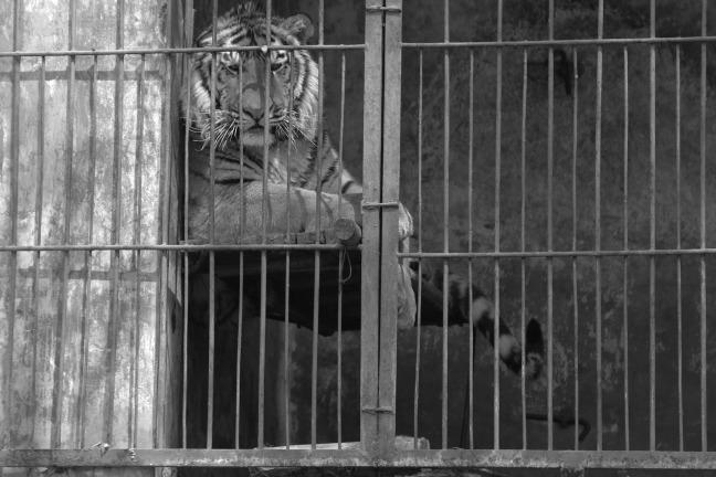 tiger-2770644_1920.jpg